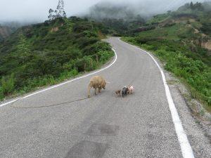 glückliche Schweinefamilie
