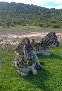 Zebras auf einer Farm